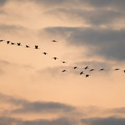 Kraanvogels tegen avondlucht boven Rehdener Geestmoor