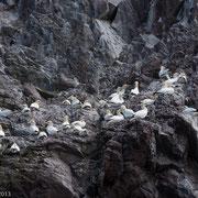 Jan van genten op de rotsen van Bass Rock