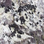 Broedende zeekoeten op de rotsen