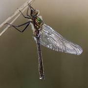 Uitsluipen van een smaragdlibel