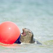 Spelende grijze zeehond