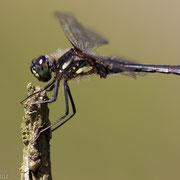 Zwarte heidelibel (m)