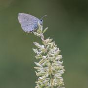 Dwergblauwtje met dauwdruppels