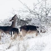 Damherten in de sneeuw