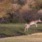 Damherten springen over het water