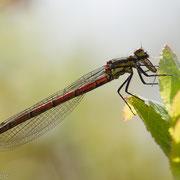 Vuurjuffer (m) met insect