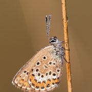 Heideblauwtje (v) met dauw