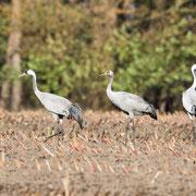 Kraanvogelfamilie in maisveld