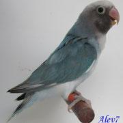 Arlequin azul