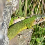 Lézards verts - Smaragdeidechse
