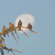 Vier Staren vorm Mond - 4 Étourneaux sansonnets et la lune