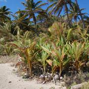 Herunter gefallene Nüsse keimen und werden zu jungen Palmen.