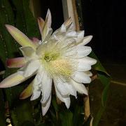 月下美人の開花をやっと見れました~(^^♪ 結構大輪の花です。