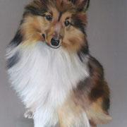 Lassie berger des Shetlands - Pastel sec sur pastelmat