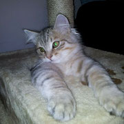 gatto siberiano bimetal