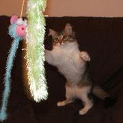 Celine gatto siberiano