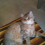 Matilde - gatto siberiano bimetal