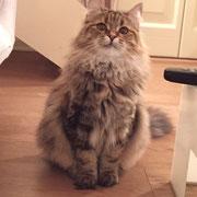 Heidi Veselka - gatto siberiano