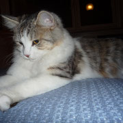 Lady (Kitty) gatto siberiano