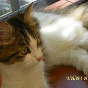 Tabatha gatto siberiano