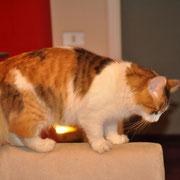 Kalì gatto siberiano