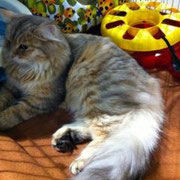 Matilde alla sua prima Esposizione Felina - gatto siberiano bimetal