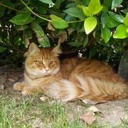 Joep gatto siberiano