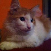 Koda Arush gatto siberiano
