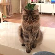 Kate Veselka - gatto siberiano