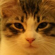 Lizzy Dafne gatto siberiano