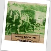 Weinlese Weinbauer 1951