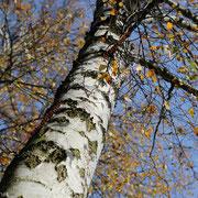 Stamm einer Birke im Herbst