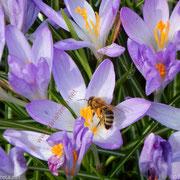 Honigbiene über lila Krokus