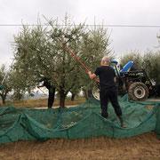 I nostri amici Bo e Grete durante la raccolta delle olive.