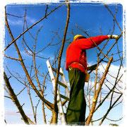 La potatura degli alberi da frutto
