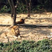 ライオンとトラのツーショット! このすぐ横を走るわけではありませんのでご安心を [2008/01/03]