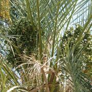 Les palmiers ont été pollinisés manuellement