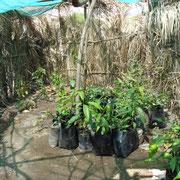 jeunes plants de manguiers 2008