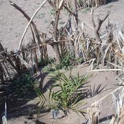 Les jeunes plants de palmiers sont protégés contre les petits rongeurs et les dick-dicks (petites gazelles)