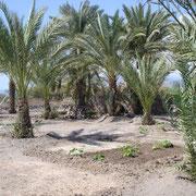 Plants de melons sous les palmiers