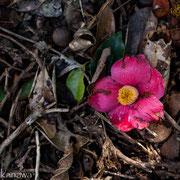 ヤツツバキの花