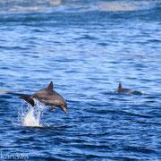 利島のミナミハンドウイルカ