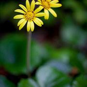 秋に咲くツワブキの花