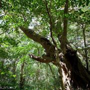 スダジイの巨樹