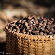椿油の原料となるヤブツバキの実
