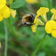Biene an Wiesen-Platterbse 2; Foto: Sandra Borchers