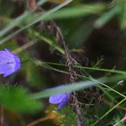 Rundblättrige Glockenblume; Foto: Sandra Borchers