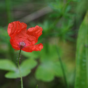 Mohn; Foto: Sandra Borchers