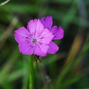 Kartäuser-Nelke; Foto: Sandra Borchers