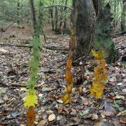 Herbstfahnen